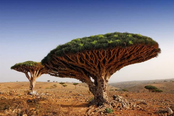 drevo-drakona-sokotra