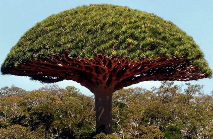 drevo-drakona