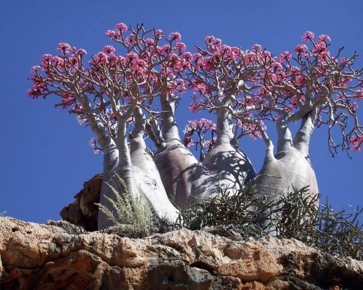 roza-pustyni-na-ostrove-sokotra
