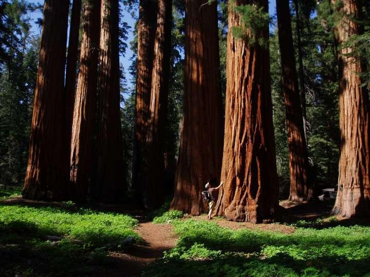 Большие деревья секвойи