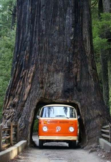 Дерево-туннель в парке Секвойя