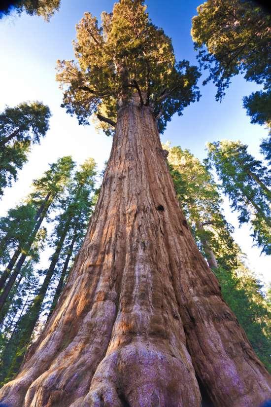 Генерал Шерман - огромное дерево