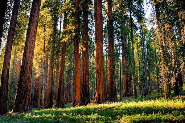 Лес секвой