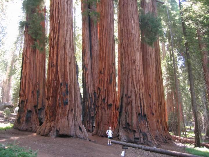 Огромные деревья секвойи