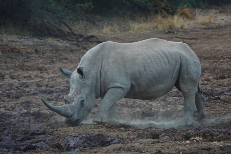Красивый белый носорог