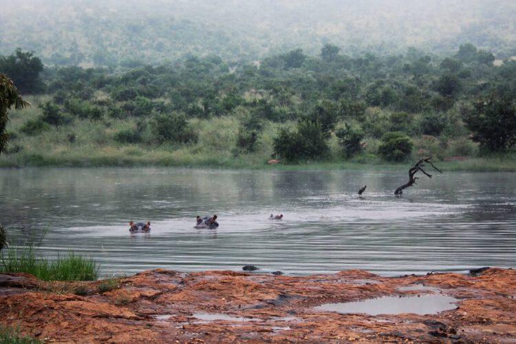 Бегемоты в знаменитом Национальном парке Пиланесберг в Южной Африке