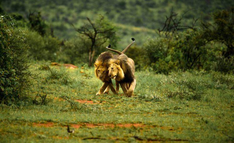 Два льва играются