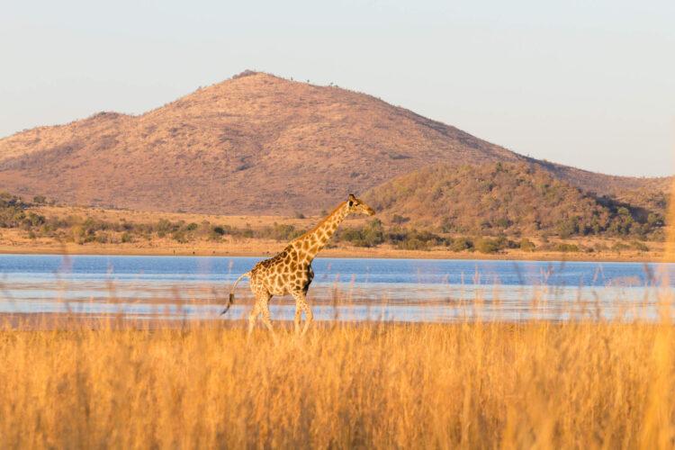 Жираф, Национальный парк Пиланесбер