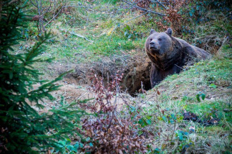 Национальный парк Баварский лес бурый медведь