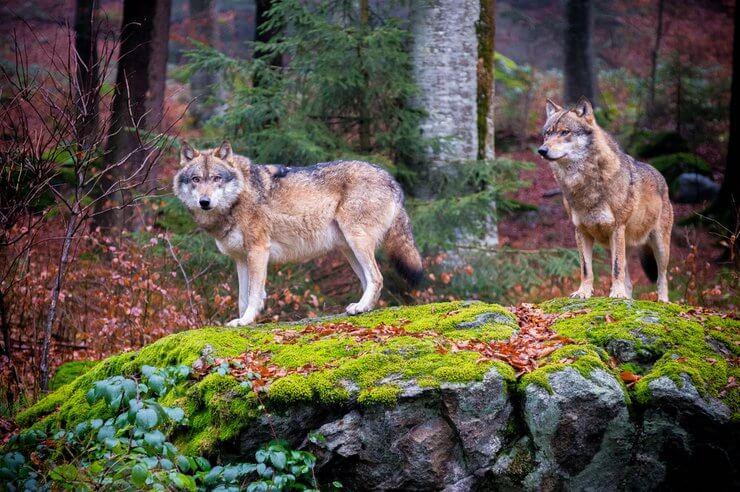 Национальный парк Баварский лес волки