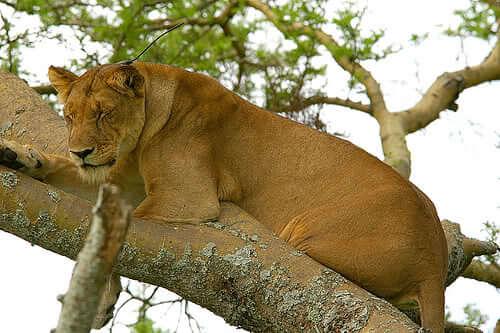"""""""Висящая"""" на дереве львица."""