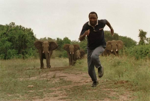 смотритель парка Елизаветы, убегает от разъяренной группы приближающихся слонов