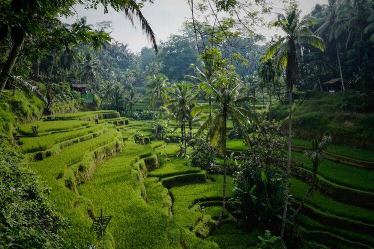 Утренний вид на прекрасные рисовые террасы Тегалаланг к северу от Убуда, Тегалаланг, Бали